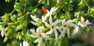 Parijat Plant