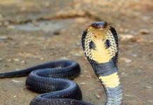 king-cobra-mp-india
