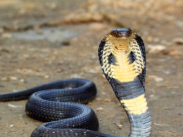 king-cobra-mp-india