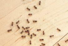ants-in-houses