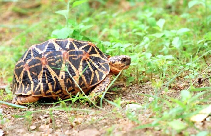 couple-found-an-rare-indian-star-tortoise-species-in-maharashtra