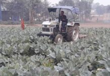 farmer-got-upset-and-drove-a-tractor-on-his-cabbage-crop