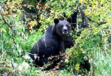 wild-bear-attack-in-chhattisgarh